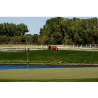 Cows graze free near certain holes at Tubac Golf Resort and Spa.