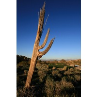 An aging Saguaro cactus sits beside the 14th hole at SunRidge Canyon.